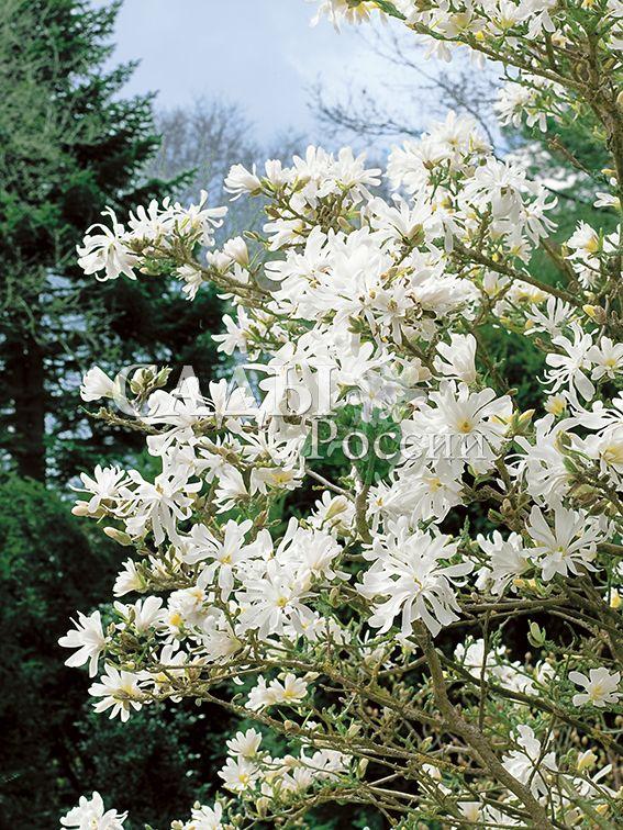 Магнолия звёздчатаяДекоративные деревья, кустарники, лианы<br>Один из тех редких видов магнолии, который выносит морозные зимы средней полосы России (с понижением температуры до – 37°С).<br>