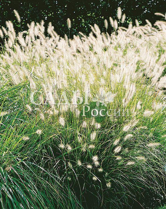 Пеннисетум ХамельнМноголетние травянистые культуры<br>Очень выразительный<br>крупногабаритный многолетний злак, придающий<br>дизайну характерные степные мотивы безудержной<br>силы, воли и буйного нрава.<br>