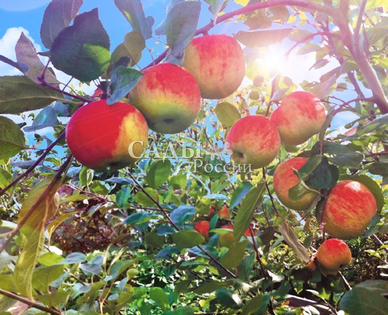Яблоня МелбаЯблоня Летние сорта<br>Сорт выведен в Канаде. Плоды массой от 120 до 200 г, в полной зрелости жёлтые,<br>с ярким нежным, розово-красным румянцем.<br>