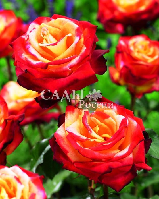 Розы Мой МюнхенРозы Флорибунда<br>Очаровательная, нежная и изысканная красавица-роза, покоряющая тёплыми кораллово-розовыми оттенками.<br>