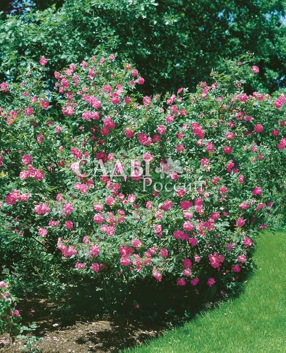 Розы Вильям БаффинКанадские розы<br>Богатырь-сибиряк, полон сил и здоровья <br>и – 45  °C для него — не мороз. Цветки очень привлекательные, открытые, полумахровые, до 8 см в диаметре, с тёплым <br>и лучистым, усеянным тычинками центром.<br>