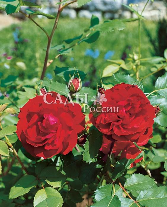 Розы Надежда НПО «Сады России»