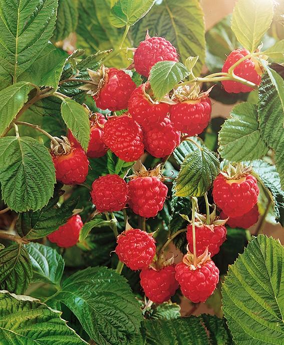 Малина Алтайская вкуснаяМалина красная<br>Ягодка-чаровница, ярко-красная, сочная, сладкая, довольно крупная (до 3 г и более)<br>и в то же время достаточно<br>плотная, транспортабельная, с<br>хорошими товарными качествами.<br>