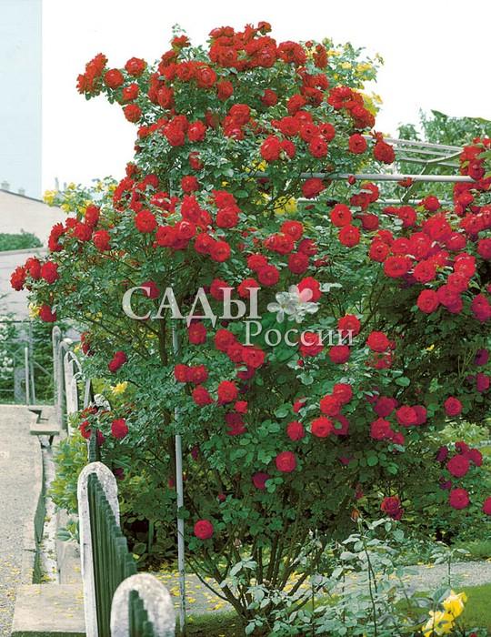 Розы СимпатияПлетистые розы<br>Искусительница. Яркая, сильная, эмоциональная и энергичная, она не просто взбирается в гору, а достигает<br>самых высоких и труднодоступных вершин.<br>