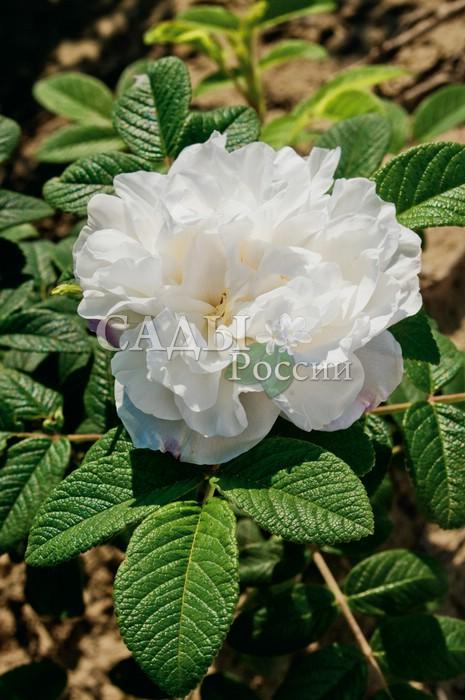 Розы Луиза БагнетКанадские розы<br>Стойкая и выносливая<br>канадская роза-красавица с белоснежными махровыми цветками и очень приятным свежим ароматом.<br>