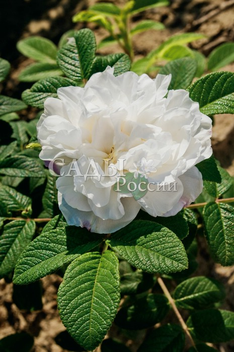 Розы Луиза Багнет