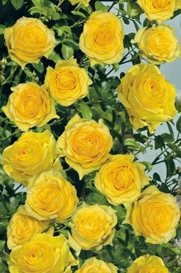 Розы Золотая ДушистаяПлетистые розы<br>Из золотой коллекции медовых ароматов. Янтарно-жёлтые бокаловидные бутоны раскрываются в яркие, как шафран, густомахровые цветки<br>диаметром 8—10 см.<br>