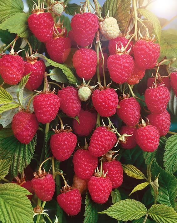 Малина КолокольчикМалина красная<br>Мечта садовода, сорт-красавец, зимостойкий, засухоустойчивый, паутинным<br>клещом не поражается.<br>