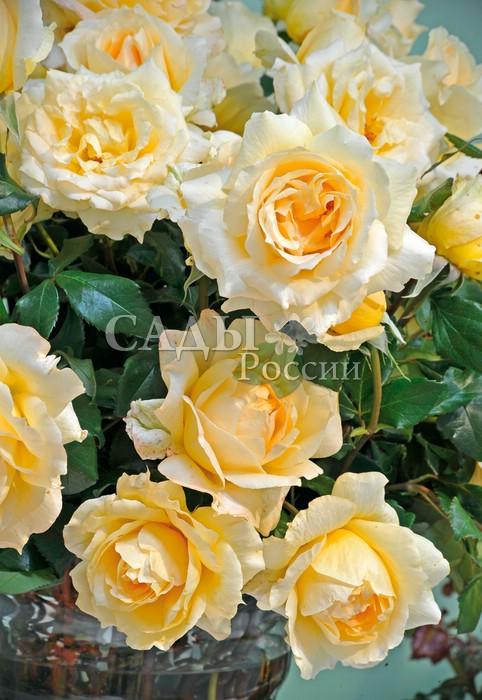 Розы КазановаЧайно-гибридные розы<br>Неотразимый, очень эффектный сорт.<br>