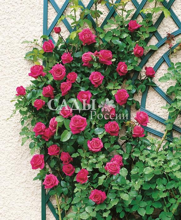 Розы КритерионЧайно-гибридные розы<br>Необычайно эффектная роза, яркая, как зорька ранняя, — эталон красивейших вишнёво-малиновых оттенков розового цвета. Цветки изящные, крупные, 11—12 см в диаметре, махровые.<br>