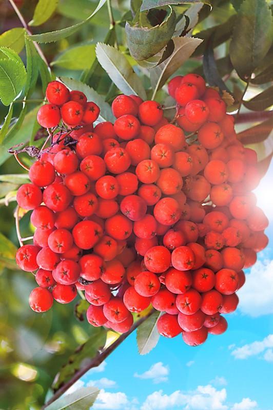 Рябина СорбинкаРябина сладкоплодная<br>Сладкая ягода, гармония благодати, красоты и исцеляющей силы.<br>