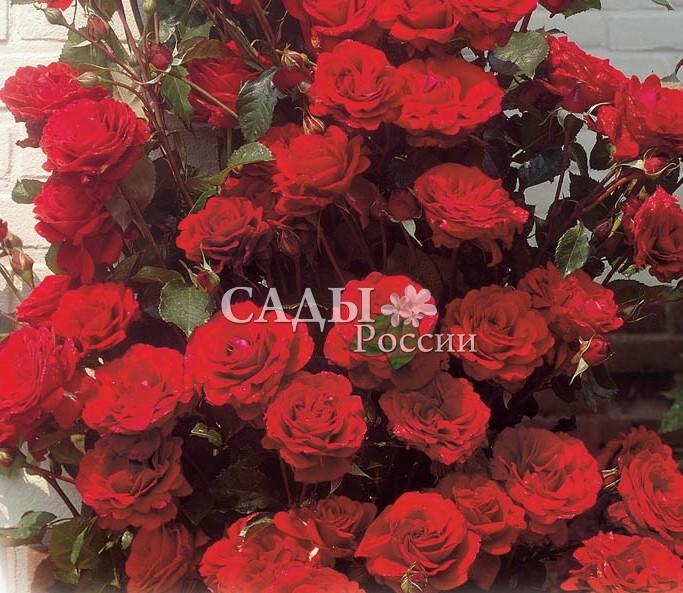 Розы Это ДжазПлетистые розы<br><br>