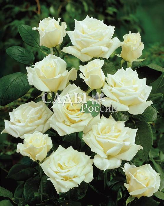 Розы ПаскальЧайно-гибридные розы<br>Одна из самых красивых белых роз, торжественная, величественная и грациозная.<br>