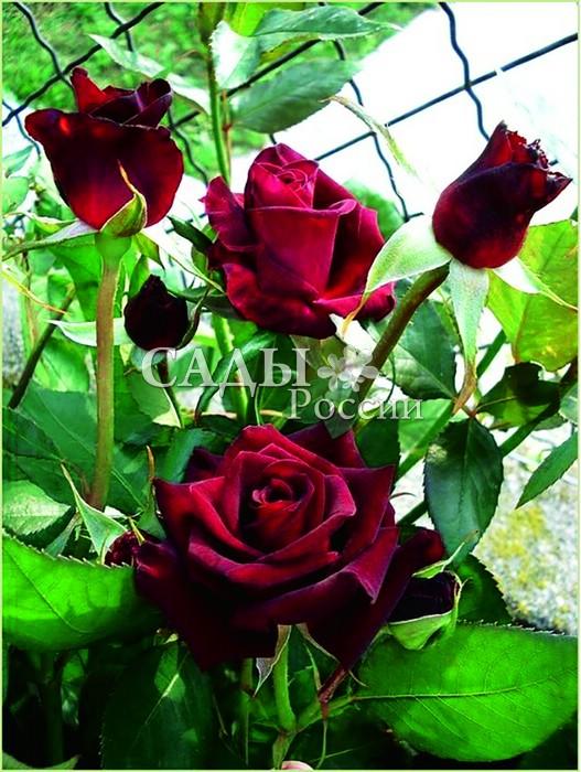 Розы Чёрная БаккараЧайно-гибридные розы<br>Вот она! Роковая брюнетка, загадочная<br>Пиковая дама. Один из самых тёмноокрашенных сортов, «чёрная роза».<br>
