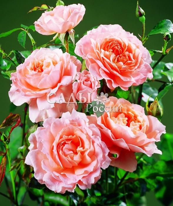 Розы МагнитШрабовые розы<br><br>
