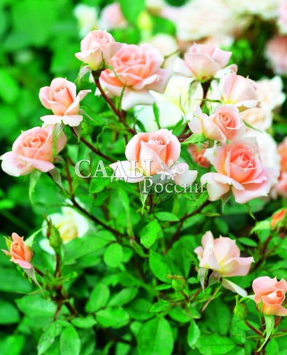 Розы Цветочное царствоМиниатюрные розы<br>Чудесная сказочно красивая малышка с восхитительными цветками нежных персиковых и лососевых оттенков.<br>