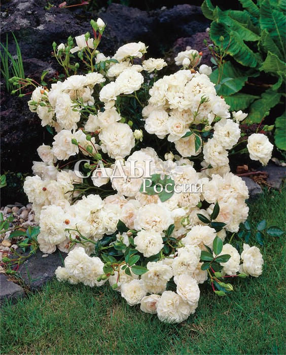 Розы Белый лебедьПочвопокровные розы<br><br>