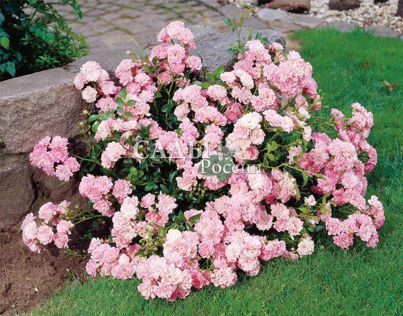 Розы ФеяПочвопокровные розы<br>Маленькая волшебница, превращающая в звонкий светлый праздник самые обычные будни.<br>