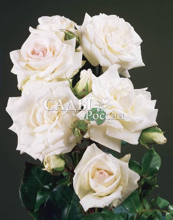 Розы Лебединое озероПлетистые розы<br>Царевна-лебедь, изысканная, элегантная, неотразимая. Цветки крупные (8 см<br>и более), густомахровые,<br>с жемчужно-белыми лепестками, дышащими свежестью нежных оттенков<br>розового фламинго.<br>