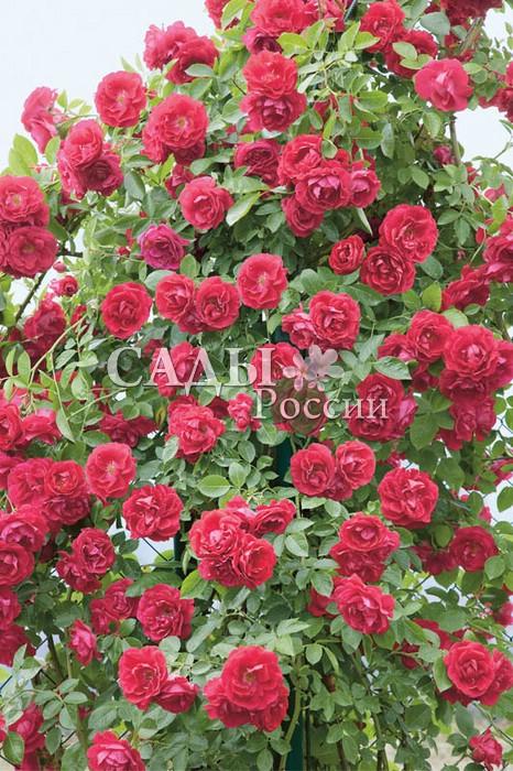 Розы ФламментанцПлетистые розы<br>Танец пламени. Чрезвычайно выносливая роза с нордическим, очень стойким<br>характером.<br>
