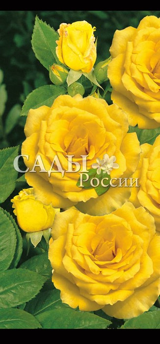 Розы Вся золотая