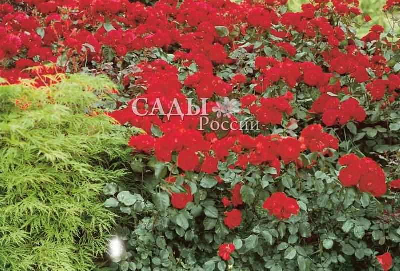 Розы ЕвропейскаяРозы Флорибунда<br>«... Но как на свете без любви прожить?».<br>