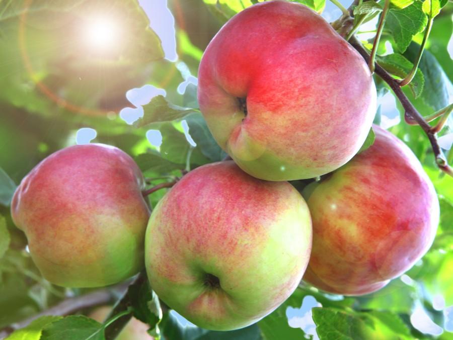 Яблоня АксёнаЯблоня Летние сорта<br>Привлекательный, очень нарядный сорт-симпатия с краснощёкими плодами средней массой 100—150 г.<br>