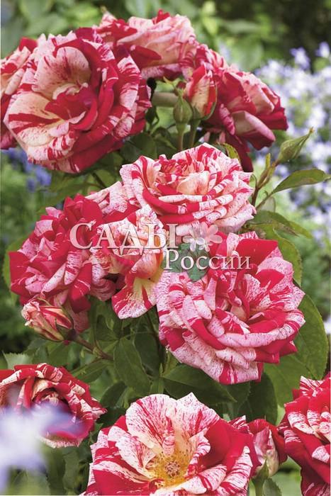 Розы МоринРозы Флорибунда<br>Эффектная «расписная» роза. Цветки красивой бокаловидной формы,<br>крупные, с плотными алыми лепестками, расписанными светло-розовыми полосками, светящимися ярким неравномерным красно-малиновым крапом.<br>