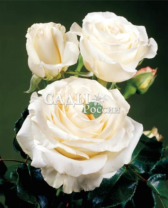 Розы Истинная любовьЧайно-гибридные розы<br>Чистая, нежная и неповторимая по своей красоте<br>и изяществу роза. Цветки белоснежные с лёгким,<br>едва заметным румянцем в центре, махровые,<br>крупные, 8—9 см в диаметре, аромат приятный,<br>насыщенный.<br>
