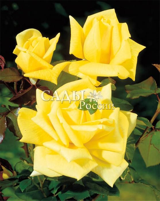 Розы СолнцедарЧайно-гибридные розы<br>Одна из лучших жёлтых<br>роз, благос ловлённая<br>солнцем.<br>Цветки крупные,<br>11—12 см в диаметре, красивой формы, яркие, шафраново-жёлтые, хороши<br>на всех стадиях роспуска.<br>