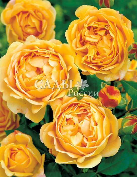 Розы Символ процветания