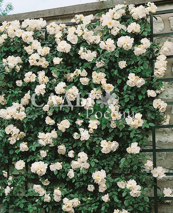 Розы ЙоркПлетистые розы<br>НОВИНКА!  <br><br>Очень застенчивая и скромная роза. Полумахровые (до 23 лепестков) пышные кремовато-белые<br>цветки с крупными жёлтыми тычинками.<br>