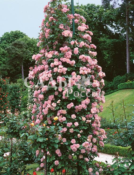 Розы Коралловый закатПлетистые розы<br>НОВИНКА!  <br><br>Сорт с ароматными густомахровыми цветками<br>кораллово-розового цвета.<br>