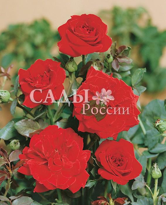 Розы Дон ЖуанПлетистые розы<br>НОВИНКА!  <br><br><br><br>У этой розы яркий, броский, вибрирующий алый<br>цвет.<br>