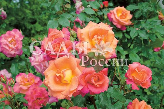 Розы Час рассветаПлетистые розы<br>НОВИНКА!  <br><br>Роза с незабываемой гармоничной окраской,<br>приятной для глаз.<br>