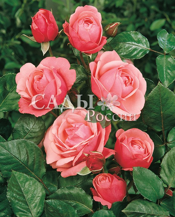 Розы Бесконечный розовыйПлетистые розы<br>НОВИНКА!  <br><br><br><br>Ремонтантный сорт. Душистые махровые насыщенно-розовые цветки весь сезон покрывают собой<br>сильные здоровые ветви с тёмно-зелёными листьями.<br>
