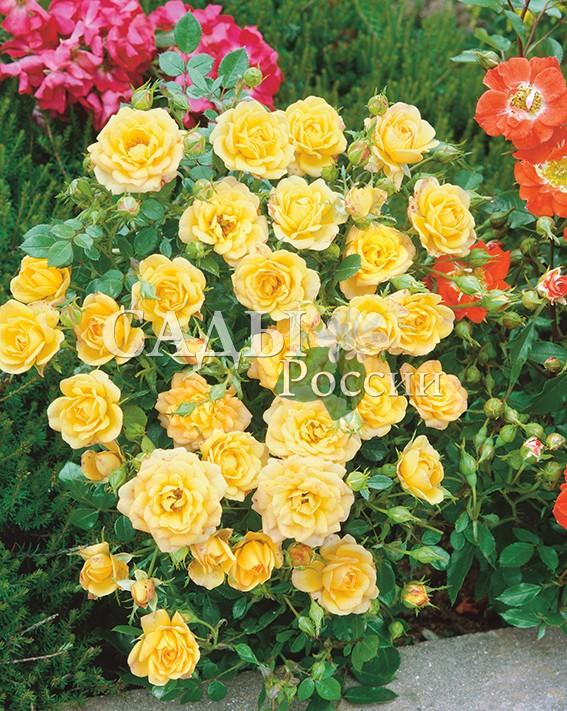 Розы Солнечная сказкаПочвопокровные розы<br>НОВИНКА!  <br> <br>Густомахровые цветки, собранные в кисти по 3-8<br>штук, покрывают все побеги растения. Цвет лепестков<br>меняется в зависимости от возраста.<br>
