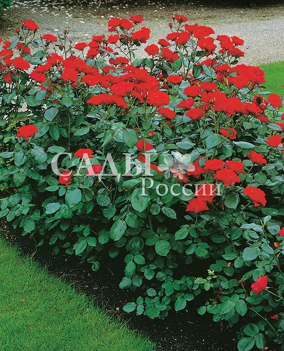 Розы АмстердамРозы Флорибунда<br>НОВИНКА!  <br><br>Очень яркая оранжево-алая роза с полумахровыми цветками до 6 см. На каждом цветке по 12-15<br>жёстких и долго не облетающих лепестков.<br>