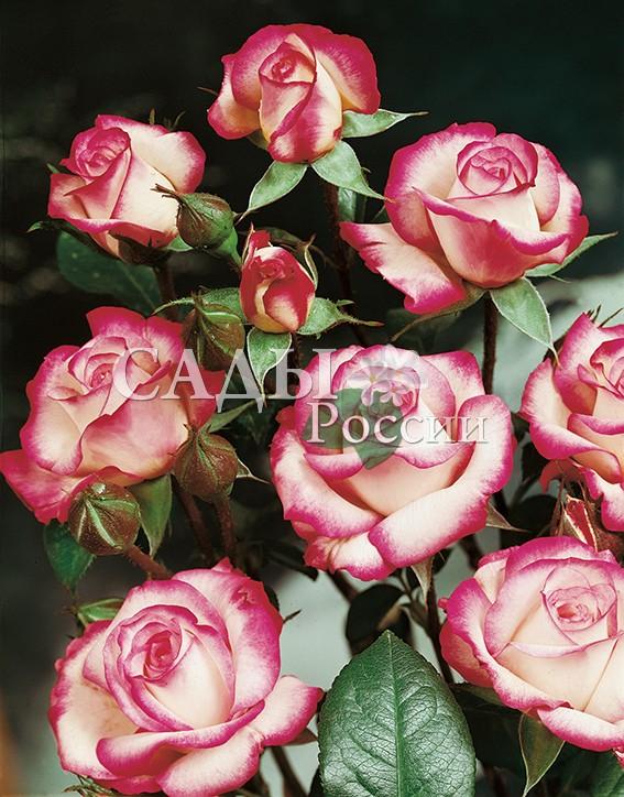 Розы ЛаминуэтРозы Флорибунда<br><br>