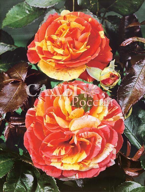 Розы ПапагенаРозы Флорибунда<br><br>