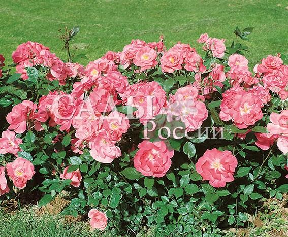 Розы Пернилл ПольсенРозы Флорибунда<br>НОВИНКА!  <br><br>Простая в выращивании, очень отзывчивая и<br>ласковая розочка.<br>