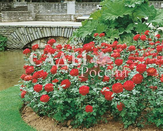 Розы Червовая ДамаЧайно-гибридные розы<br>НОВИНКА!  <br><br>Классика среди роз! Цветки густомахровые, крупные, насыщенного вишнёво-красного цвета, почти не выгорают на солнце.<br>