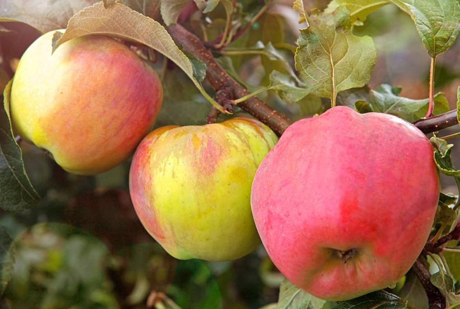 Яблоня Горный СинапЯблоня Осенние сорта<br>Великолепный, надёжный позднеосенний сорт НИИ<br>садоводства Сибири.<br>