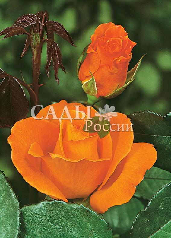 Розы ДорисЧайно-гибридные розы<br><br>