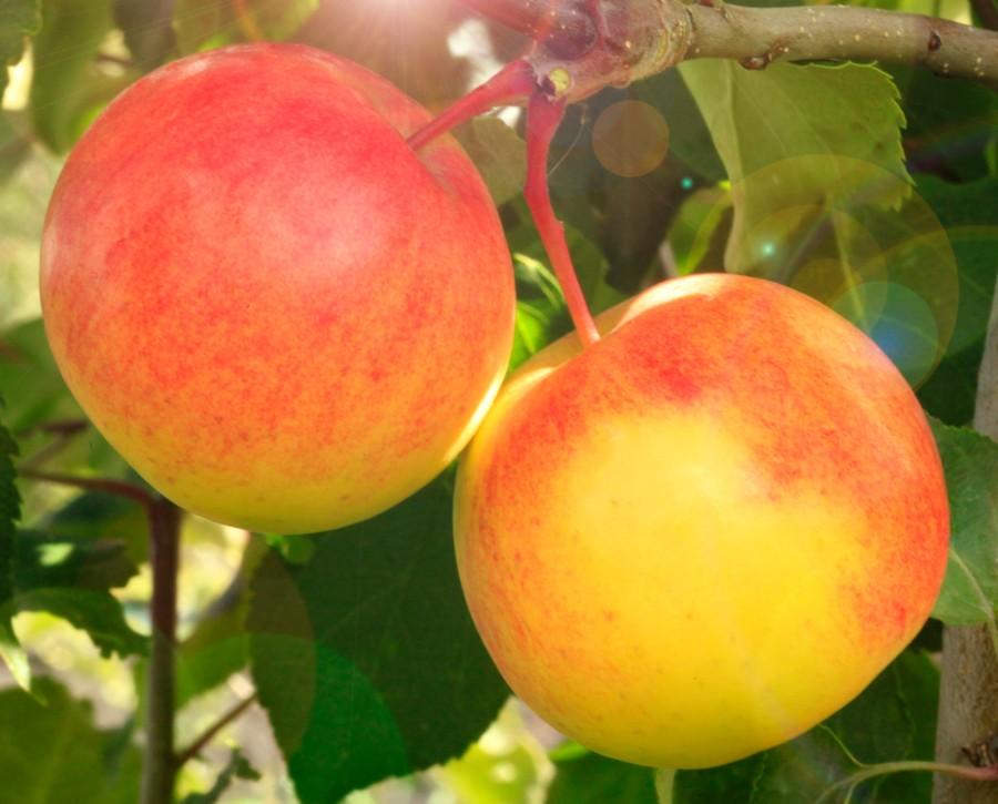 Яблоня Память БирюковаЯблоня Осенние сорта<br>Очаровательный сорт-гармония, превосходно сочетающий отменные товарные<br>и вкусовые качества.<br>