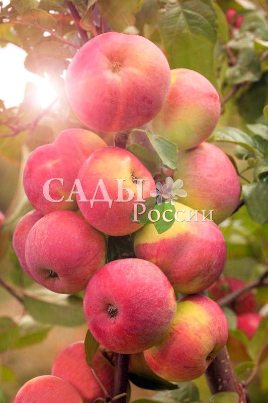 Яблоня Подарок садоводамЯблоня Осенние сорта<br>Счастливая находка, в любом саду на своём месте. Плоды выровненные, среднего размера, массой<br>до 100 г, красивые, зеленовато-жёлтые, румяные, с<br>гладкой блестящей кожицей.<br>