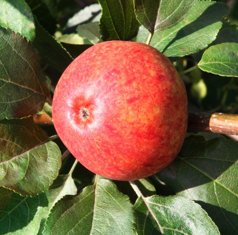 Яблоня ТоропыжкаЯблоня Осенние сорта<br>Очень ранний и скороплодный сорт-новинка.<br>