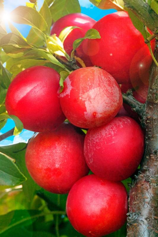 Слива МихальчикСлива<br>Быстрый на ногу, скороплодный и очень урожайный сорт-десерт. Плоды крупные (25-30 г),<br>яркие, насыщенного брусничного<br>цвета, сочные, изумительно вкусные.<br>