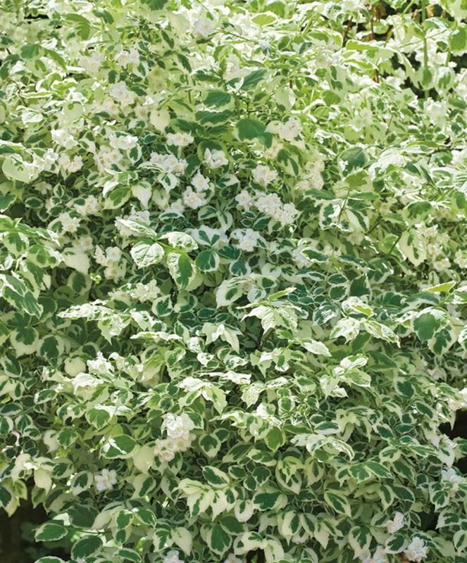 Жасмин ВарьегатусДекоративные деревья, кустарники, лианы<br><br>