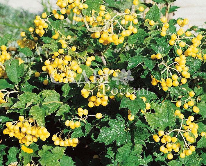 Калина КсантокарпумДекоративные деревья, кустарники, лианы<br>НОВИНКА!   <br> <br> <br> <br>Калина издавна росла в палисадниках около домов.<br>
